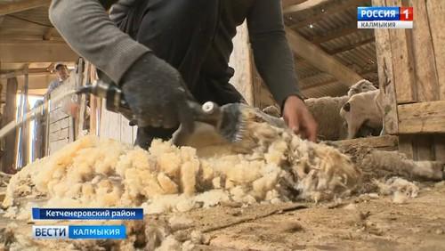 В Калмыкии идет стрижка овец