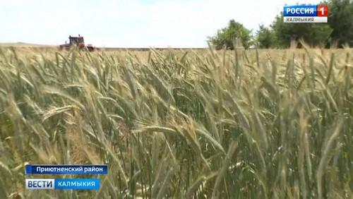 Как готовятся хлеборобы к жатве пшеницы и ярового ячменя?