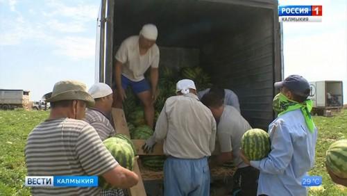 В Калмыкии открыт сезон арбузов