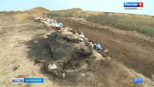 Объем отходов от содержания сельхозживотных в Калмыкии – почти 2 млн. тонн в год
