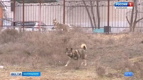 В Калмыкии участились случаи укуса человека животными