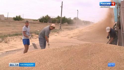 Хлеборобы республики собрали 598 тонн зерна