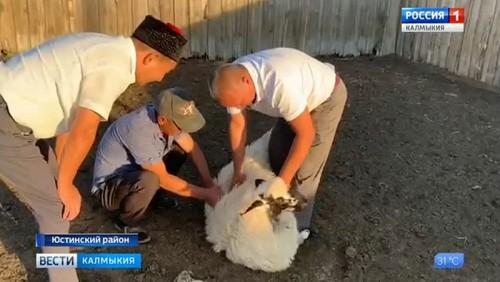 Овцы калмыцкой курдючной породы востребованы в других регионах