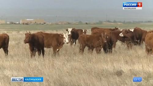 Бурятия и Калмыкия будут развивать калмыцкую породу скота