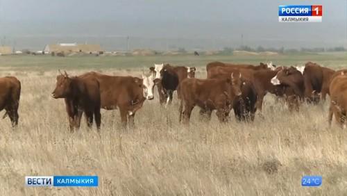 Состоится съезд ассоциации заводчиков калмыцкого скота