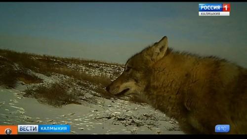На территории Калмыкии стартовал сезон охоты на пушного зверя