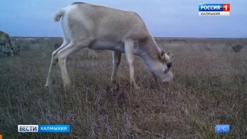 В Калмыкии стартовал гон сайгаков