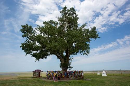 Одинокий тополь Калмыкии поборется за звание главного европейского дерева
