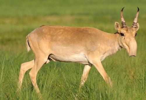 ЛУКОЙЛ поможет сберечь охраняемую красной книгой степную антилопу