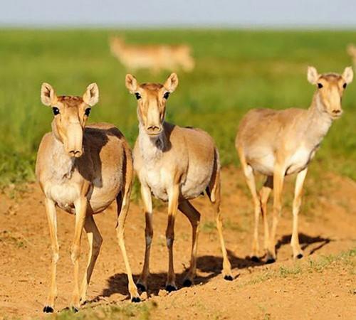 В Калмыкии продолжается работа, направленная на увеличение численности степных антилоп