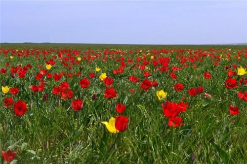 В этом году одного из красивейших праздников весны - Фестиваля тюльпанов – не будет