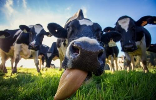Специалисты управления ветеринарии продолжают противоклещевую обработку сельскохозживотных
