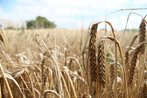 Долгожданный дождь улучшил состояние зерновых культур и пастбищных угодий Калмыкии