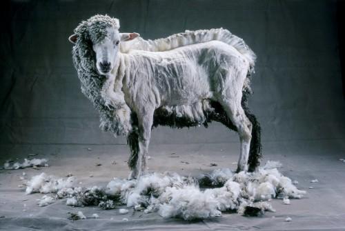 В республике началась стрижка овец