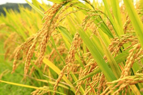 В Октябрьском районе аграрии борются за урожай белого злака
