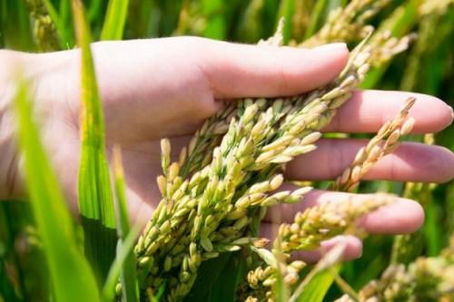 Рисоводческие хозяйства Октябрьского района испытывают проблемы с водоснабжением