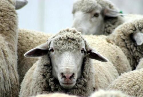 Животноводы Калмыкии всеми силами стараются сохранить поголовье в период зимовки