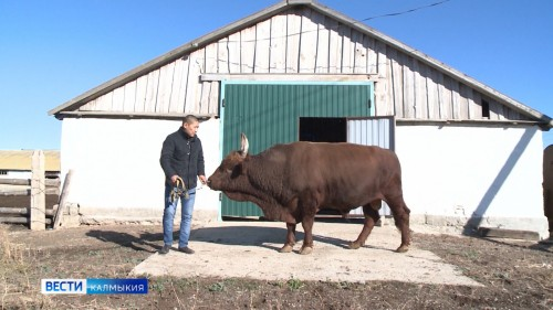 Стартовал прием документов для предоставления субсидий на поддержку племенного животноводства