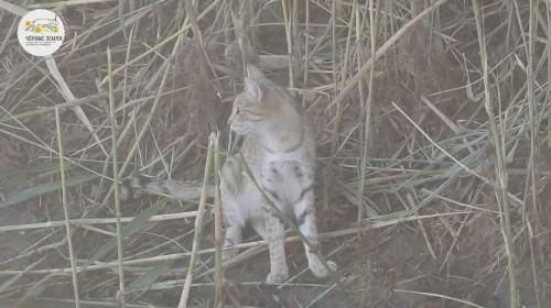 В объектив фотоловушек в заповеднике Черные земли попала степная кошка