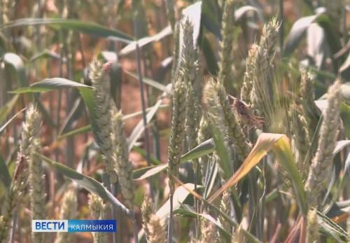 В Калмыкии завершилась жатва