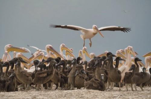 Розовые пеликаны облюбовали озеро Маныч-Гудило в Калмыкии