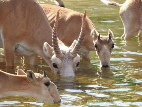 Самец сайгака учит детенышей правильно пить