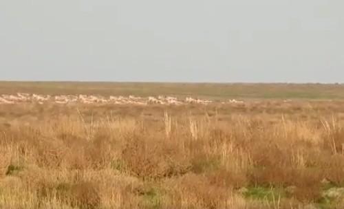 """Поток 1,5-тысячного стада сайгаков и котята-гибриды - жизнь в заповеднике """"Черные земли"""" бьет ключом"""