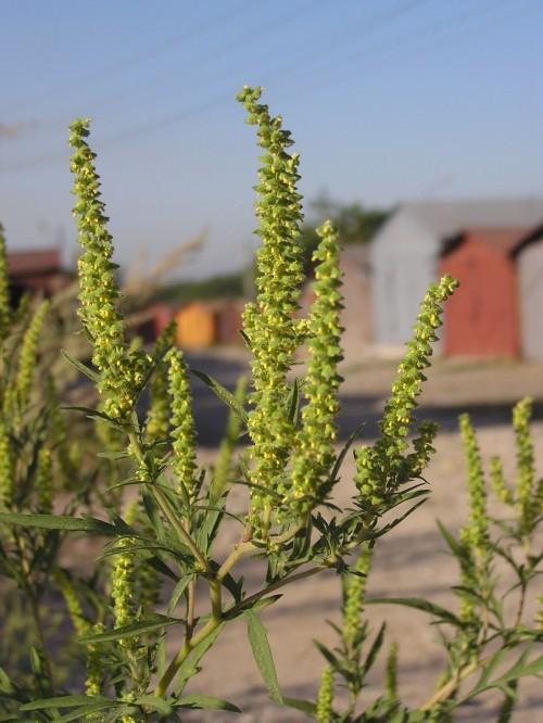 В Яшалтинском районе выявлен очаг произрастания опасного сорняка