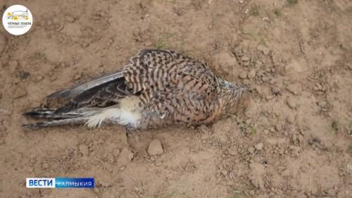 В заказниках Сарпинский и Харбинский зафиксированы случаи массовой гибели диких птиц от поражения током на ЛЭП