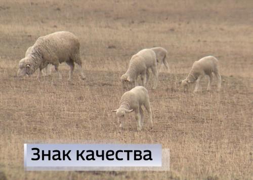 Меринос - тонкорунная порода овец - визитная карточка племзавода «Черноземельский»