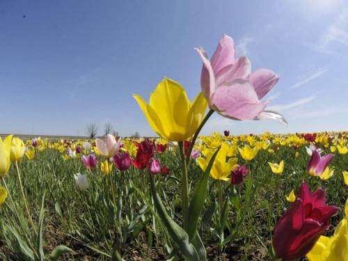 Фестиваль тюльпанов уже сегодня ждет гостей