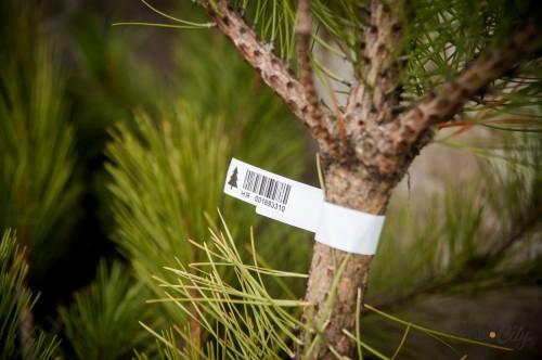 Специалистами Управления Росссельхознадзора выявлены факты ввоза хвойных деревьев без положенных сертификатов