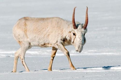 На территории Государственного биосферного заповедника «Черные земли» готовятся к зимовке сайгаков