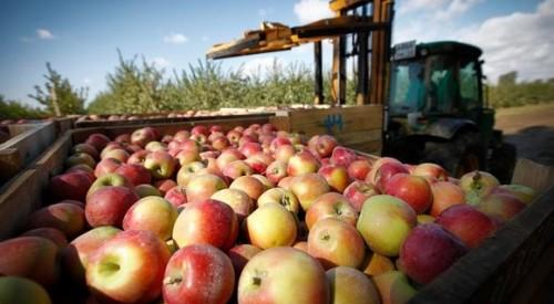 В хозяйствах республики приступили к сбору яблок