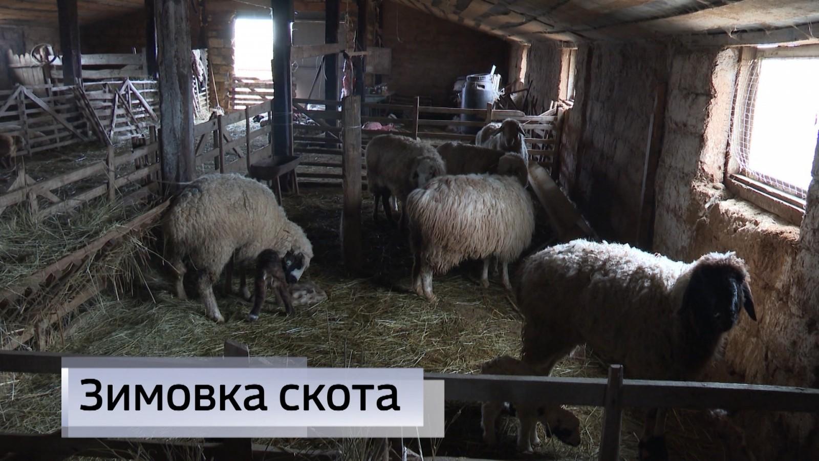 У животноводов республики продолжается зимовка скота