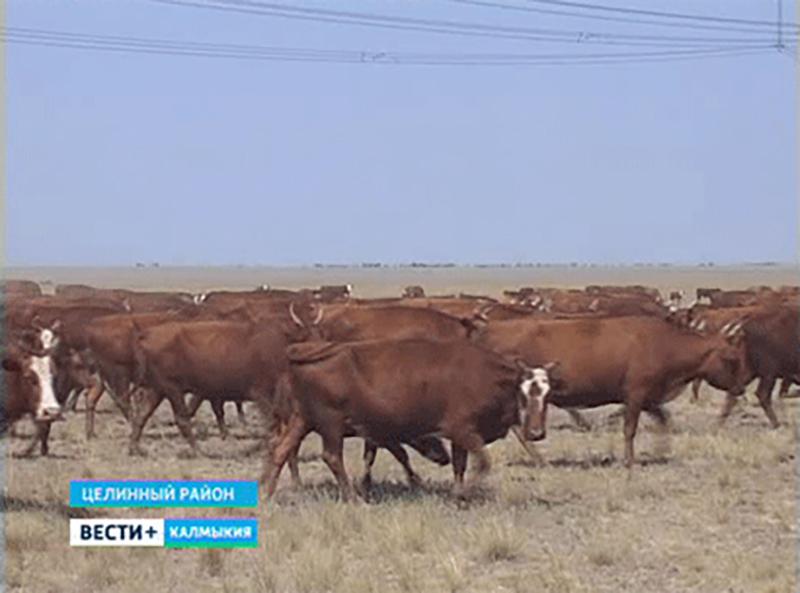 Фуат Каюмов: калмыцкий скот — национальное достояние