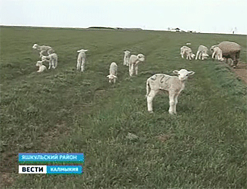100 ягнят от 100 овцематок планируют получить животноводы Калмыкии