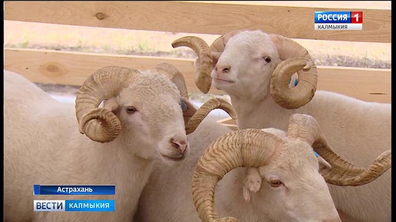 Калмыцкие заводчики готовятся к XXI Российской выставке племенных овец и коз