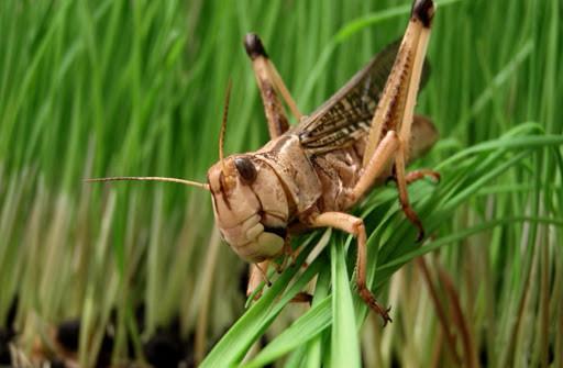 В Калмыкии расширяется территория заселения саранчи