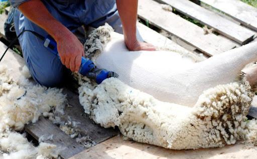 Овцеводческие предприятия Калмыкии готовятся к стрижке