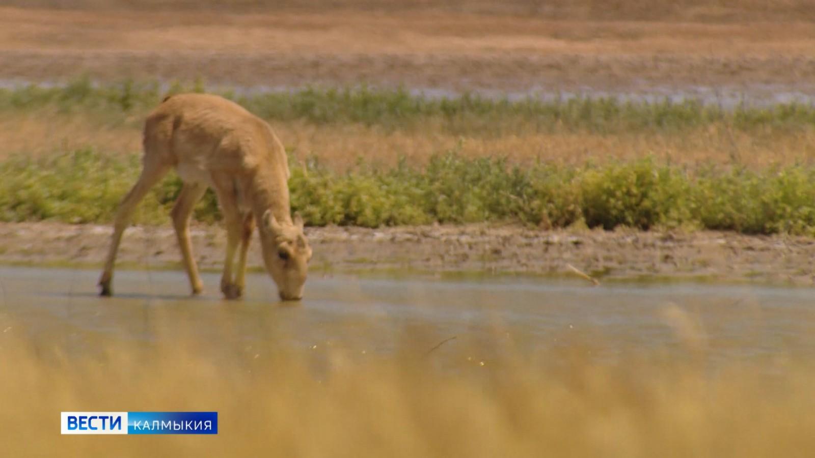 Подведены итоги половозрастного учета популяции сайгаков