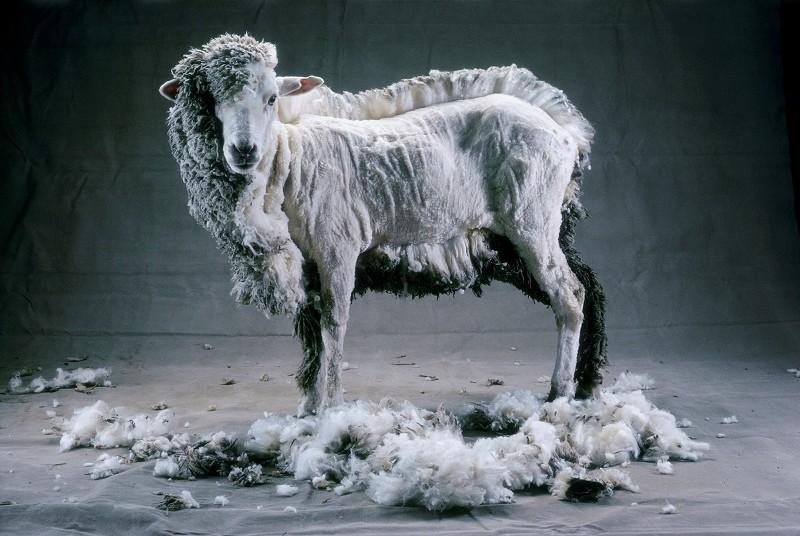 В хозяйствах республики завершилась стрижка овец