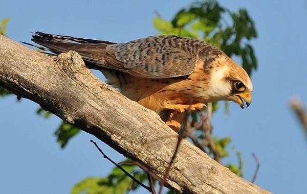 Степная птица кобчик стала пернатым символом наступившего года