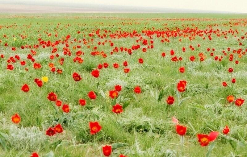 Фестиваль тюльпанов все ближе
