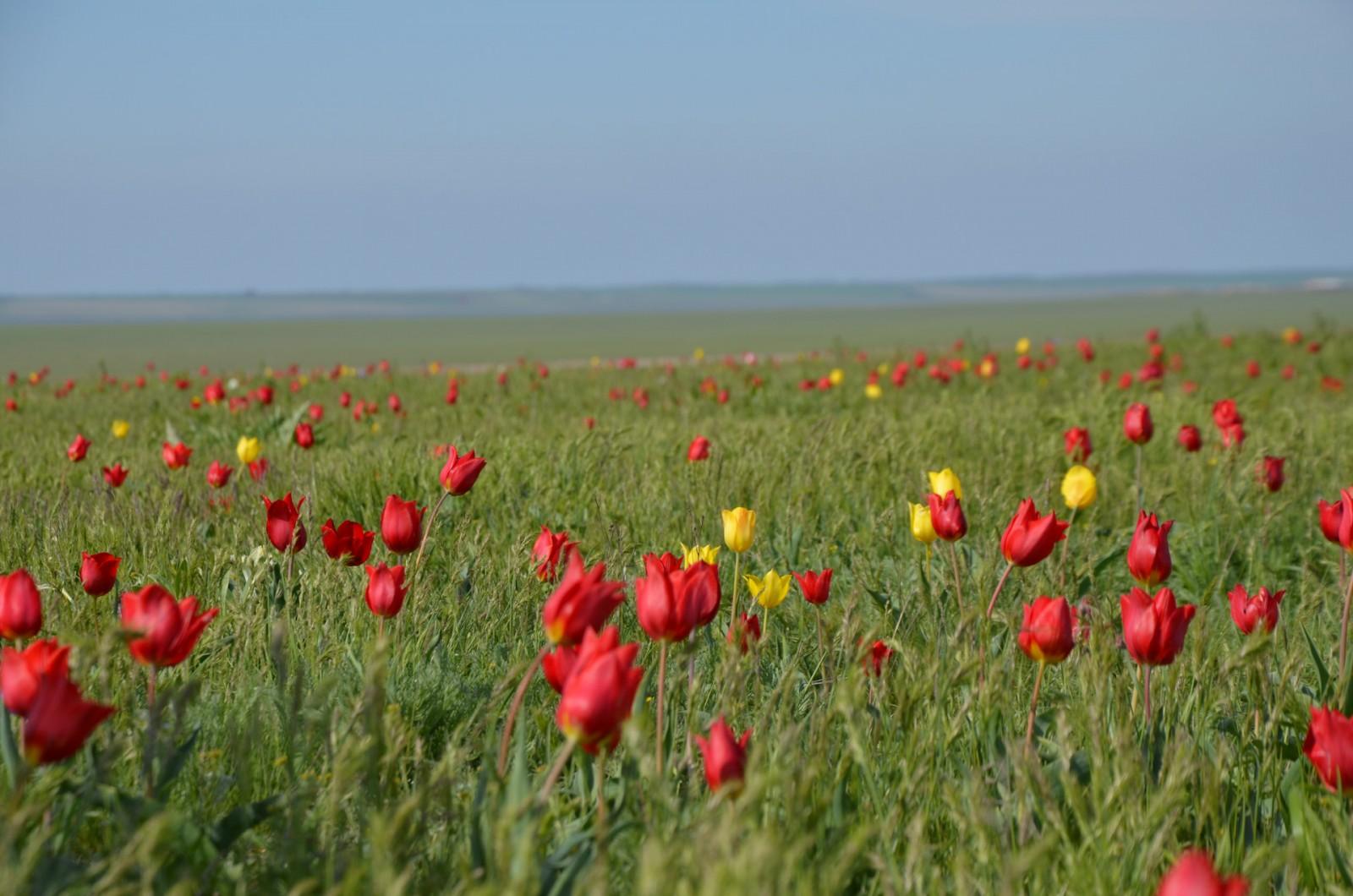Фестиваль тюльпанов в Калмыкии может состояться только при соблюдении строгих санитарно-противоэпидемических правил