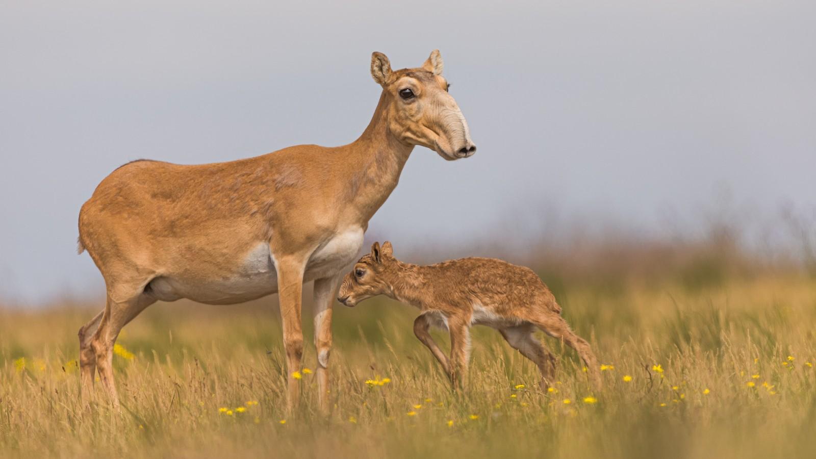 У краснокнижной степной антилопы начался отёл