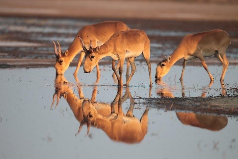 Калмыцкие журналисты получили возможность увидеть краснокнижных степных антилоп