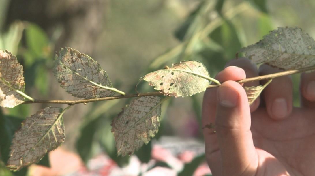 Найдена причина, по которой деревья столицы теряют листву