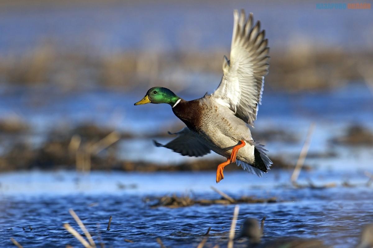 Сегодня открывается сезон охоты на водоплавающую дичь