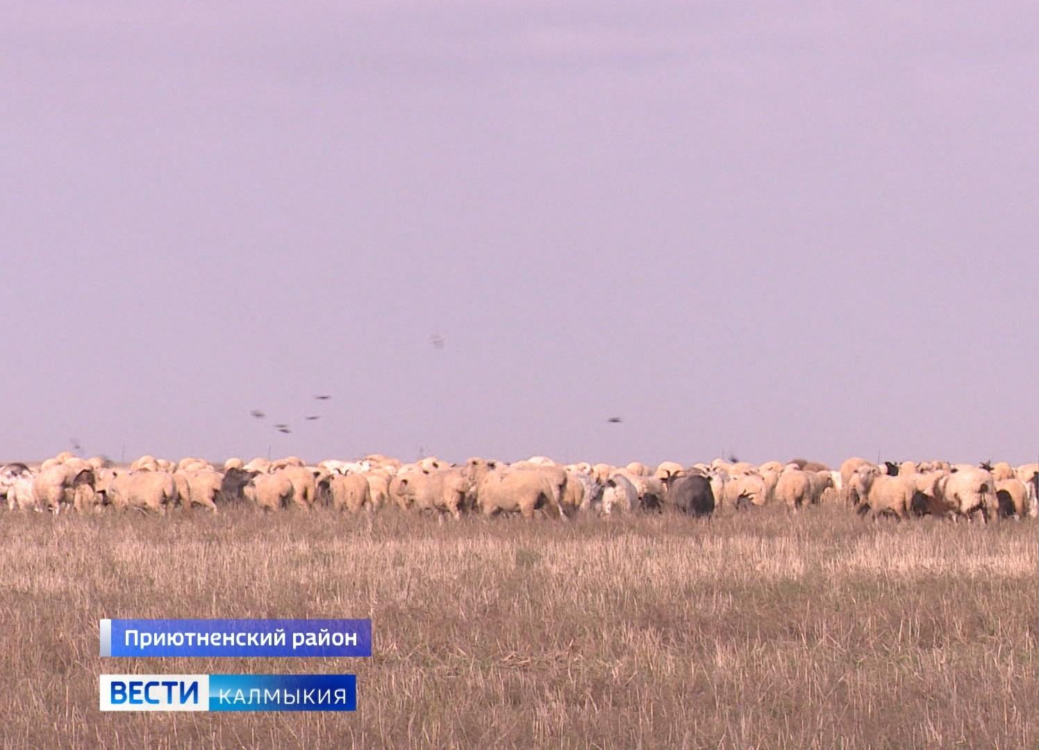 Более 130 тысяч голов мелкого и крупного рогатого скота готовят к зимовке в Приютненском районе